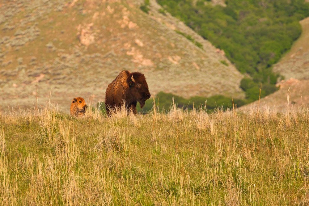 Bison Cow And Calf In Utah