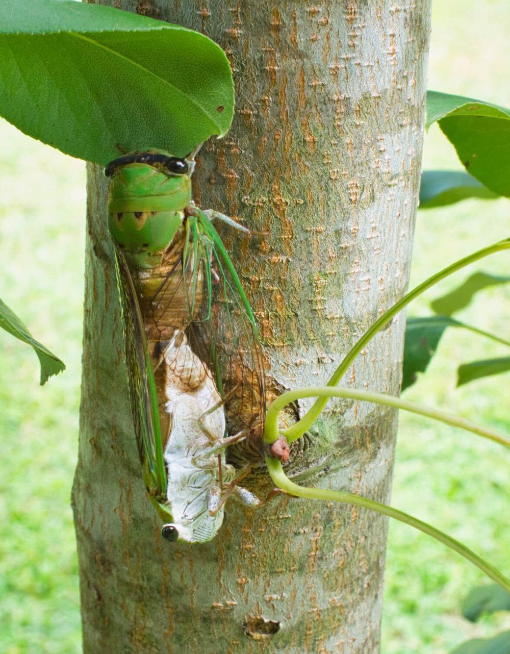 Mating Cicada