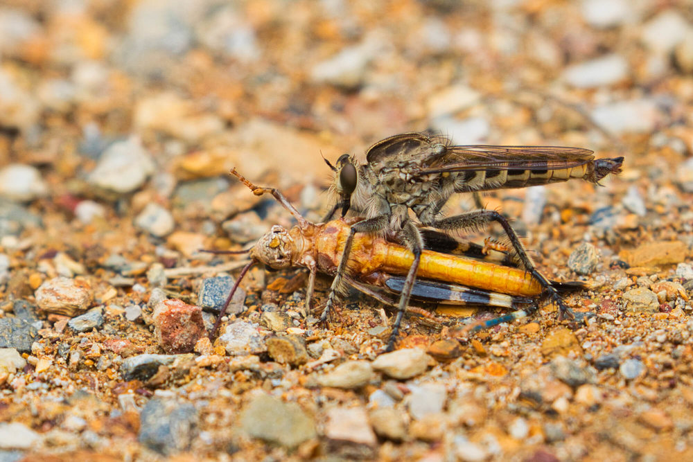 Robber Fly With Grasshopper