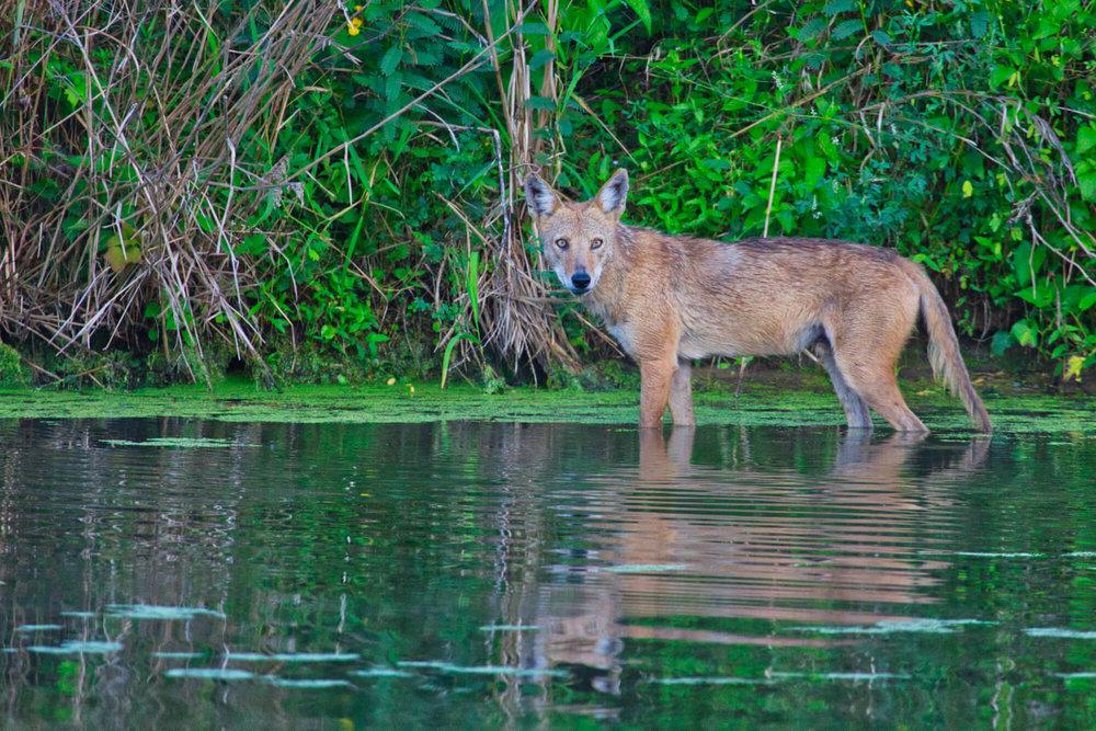 Coyote Standing In Water