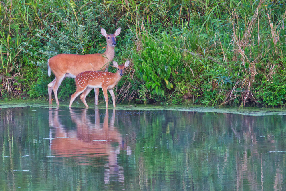 Whitetail Doe and Fawn Standing In Water