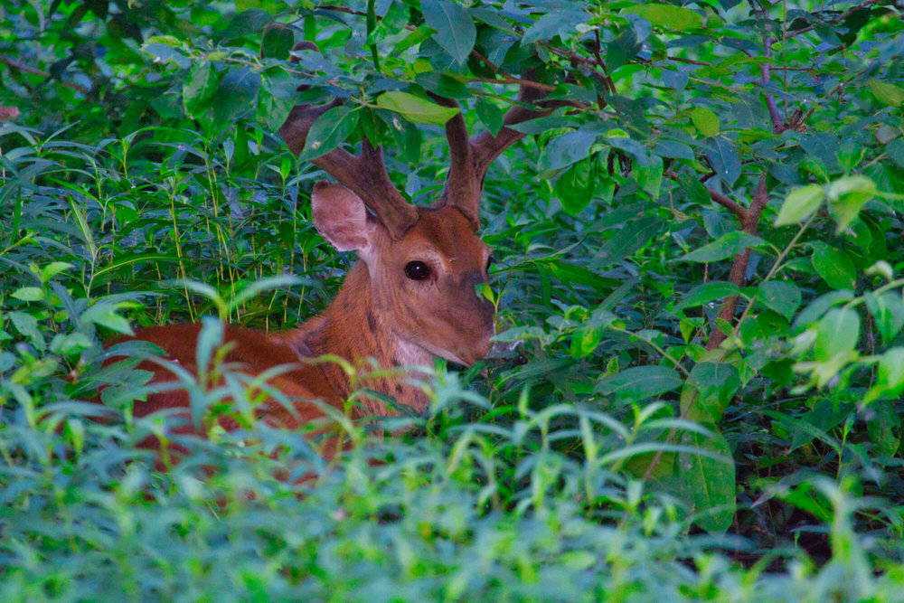 Bedded Whitetail Buck