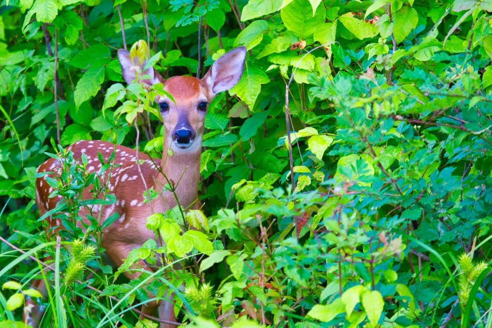 Whitetail Fawn In Poison Ivy
