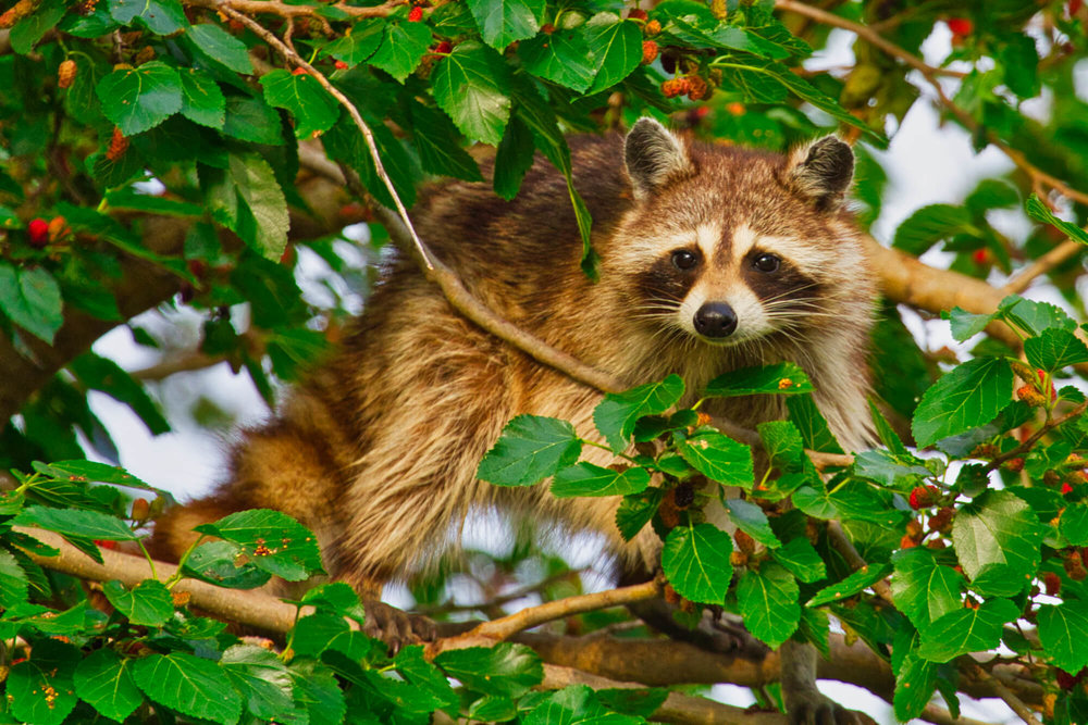 Raccoon In Mulberry Tree