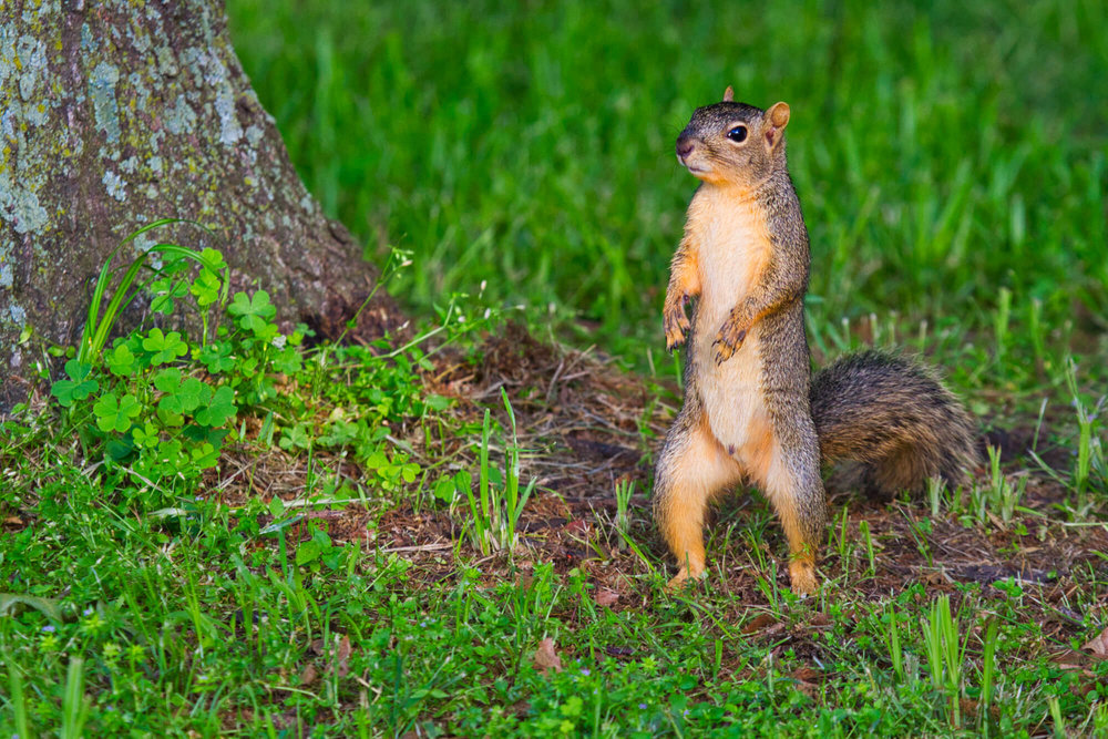 Fox Squirrel Standing