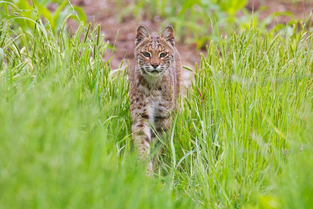 Bobcat In Tall Grass