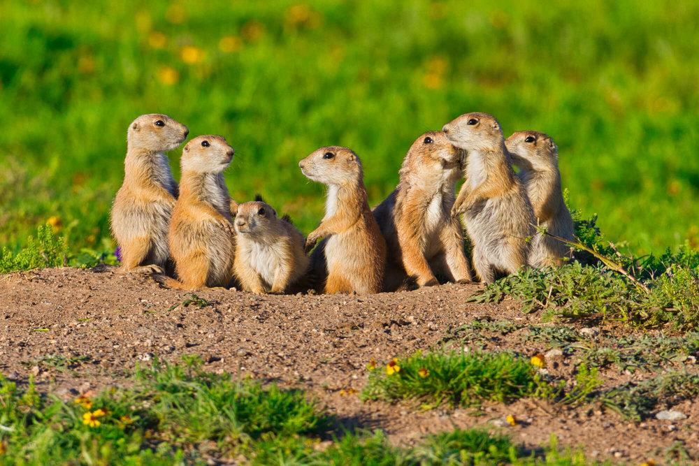Black-tailed Prairie Dog Family