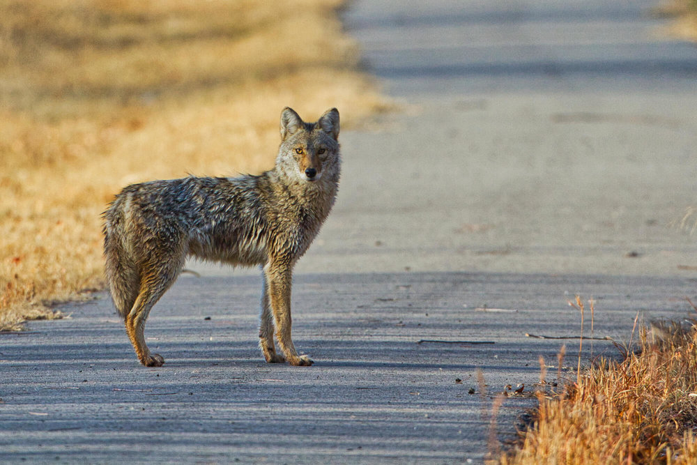 Coyote On Walking Trail