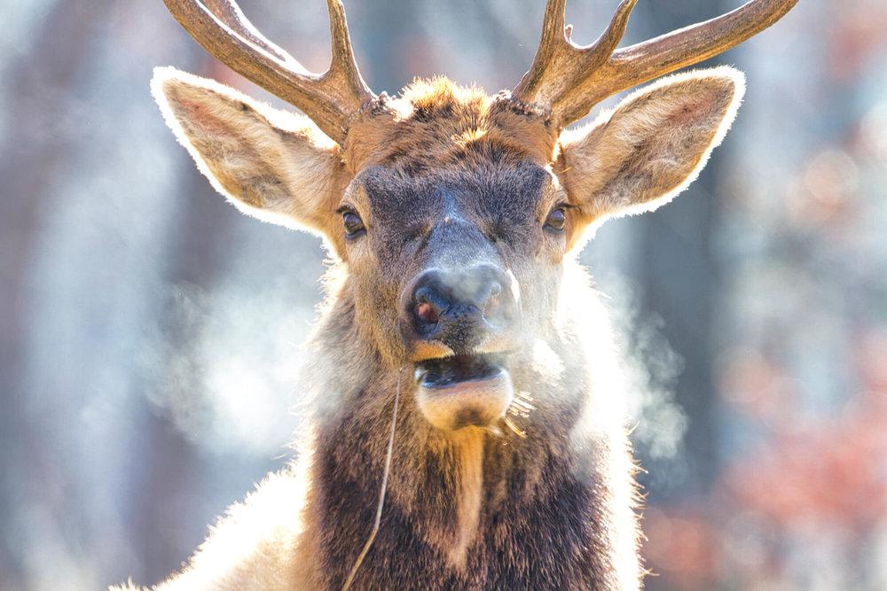 Bull Elk On Cold Morning