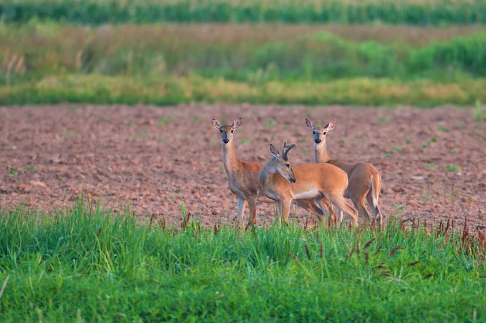 Whitetail Buck With Two Does