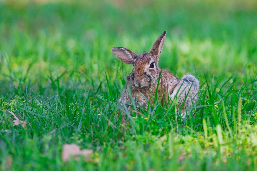 Cottontail Rabbit Scratching