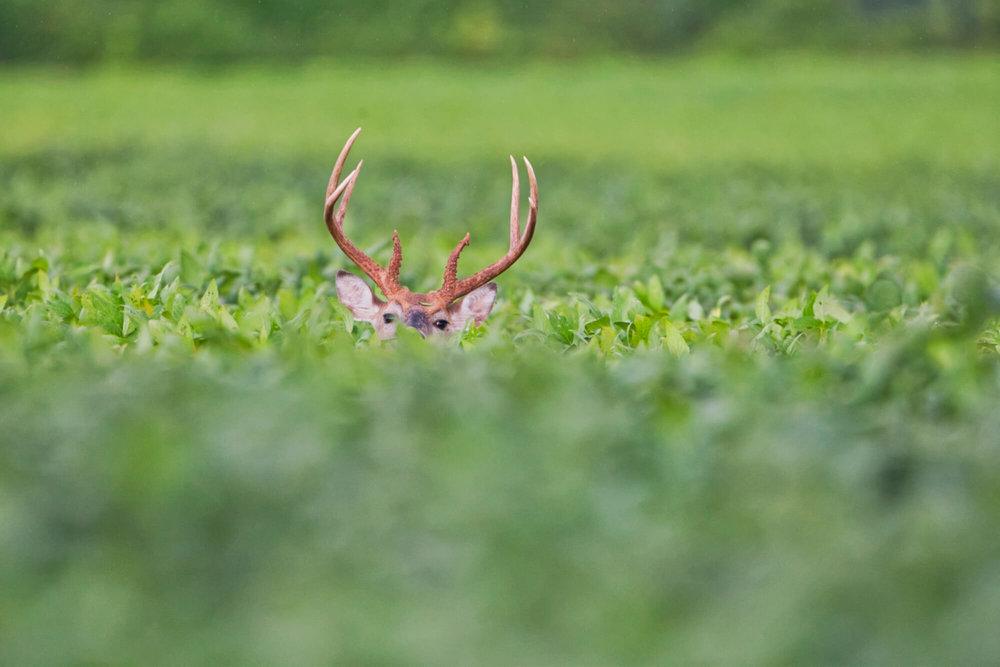Whitetail Buck In Soybean Field