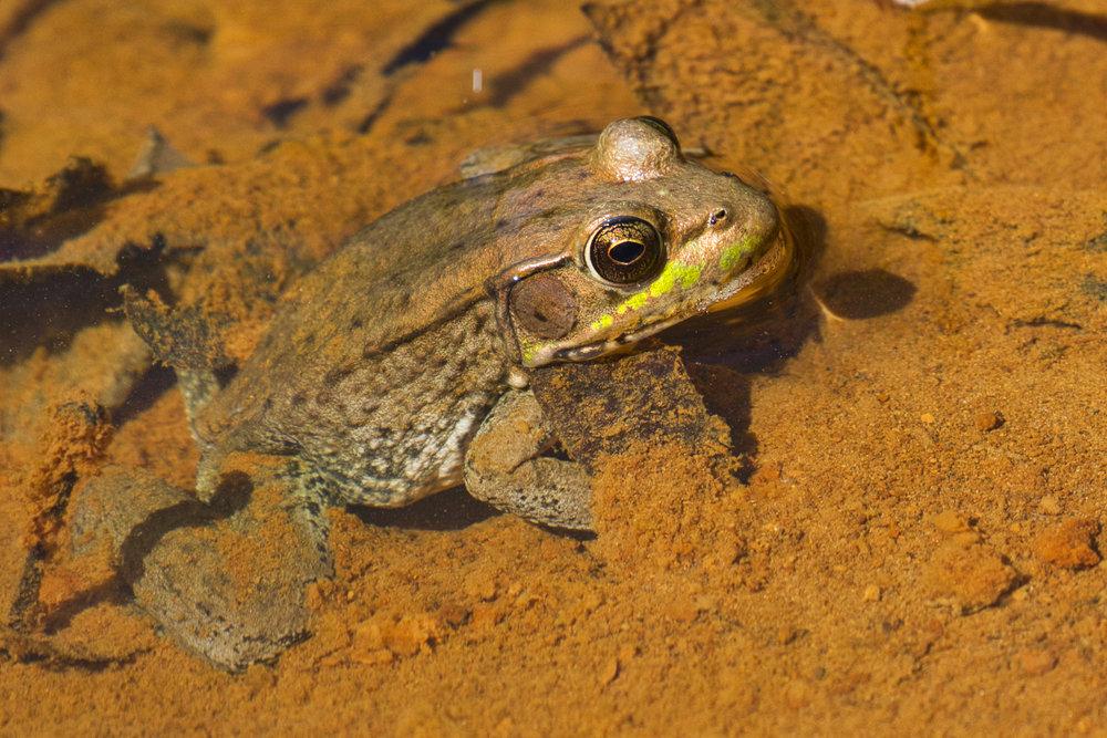 Bullfrog - Arkansas