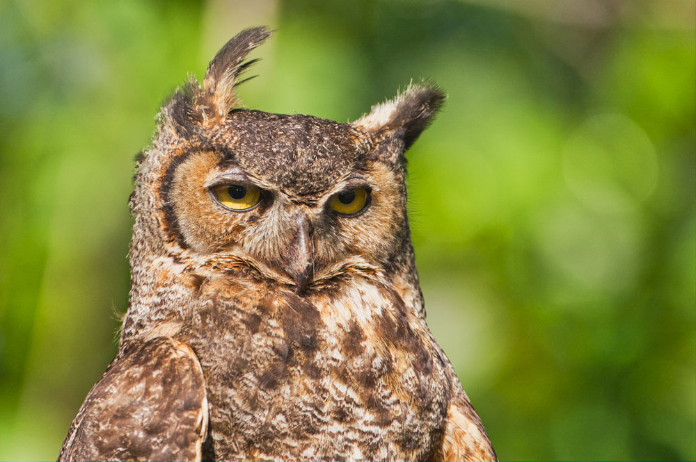 Great Horned Owl - Sequoyah National Wildlife Refuge - Oklahoma