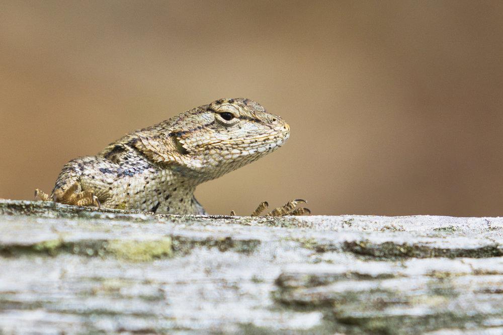 Prairie Lizard - Arkansas