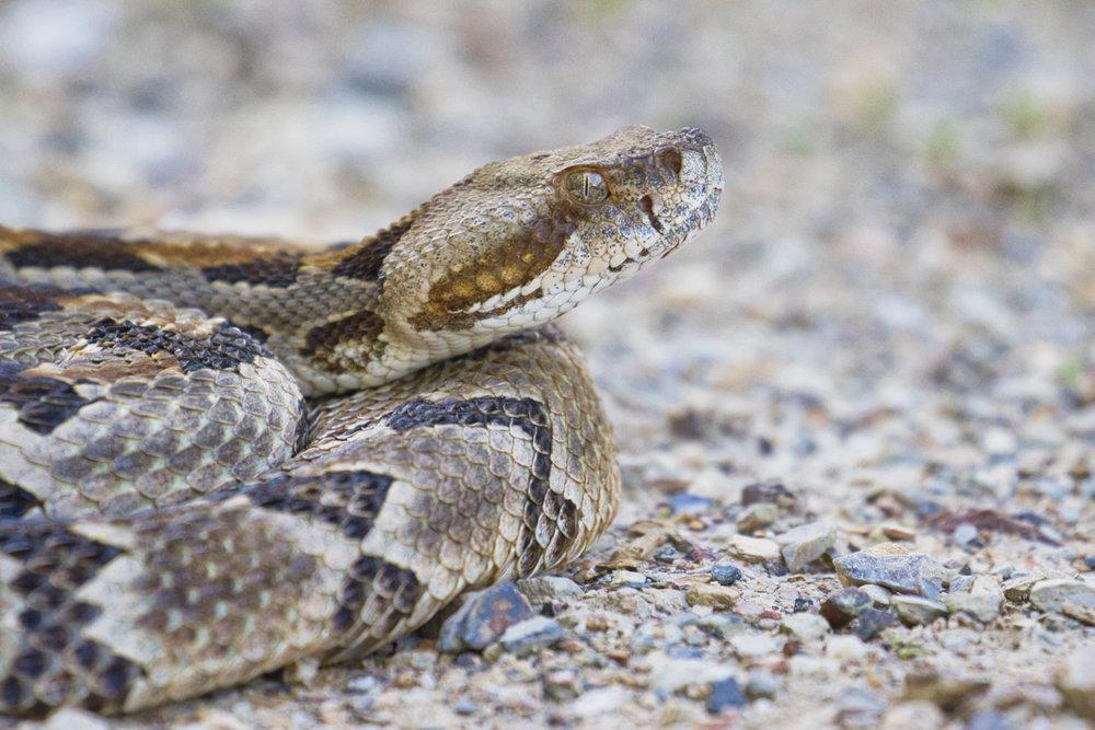 Timber Rattlesnake - Ouachita Mountains - Arkansas
