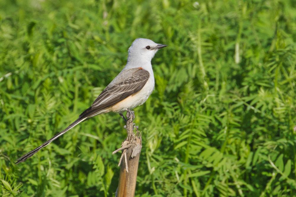 Scissor-tailed Flycatcher - Sequoyah National Wildlife Refuge - Oklahoma