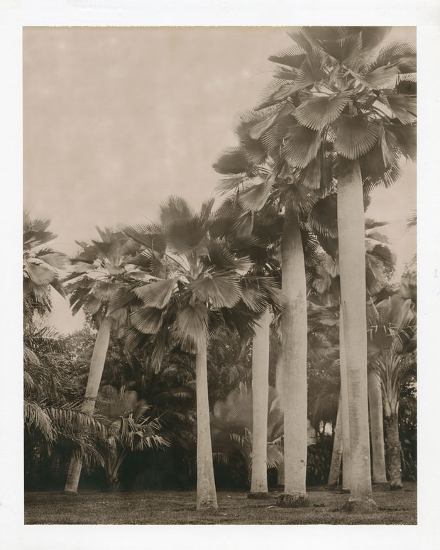 "BAILEY PALM, 2003  8"" X 10"" POLAROID"