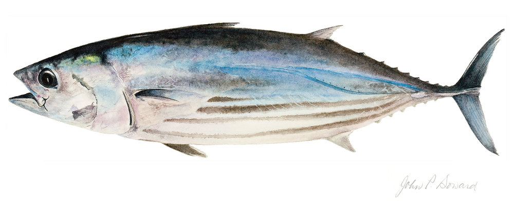 Skipjack Tuna, by John P. Soward