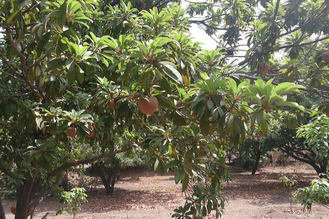 The sapodilla tree.
