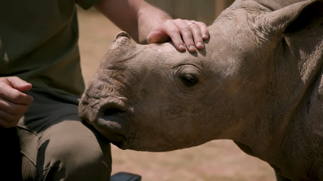 Save This Rhino | A documentary by THIS film studio
