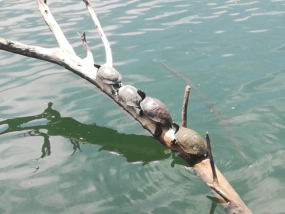 Turtles in Lady Bird Lake close to downtown, Austin.