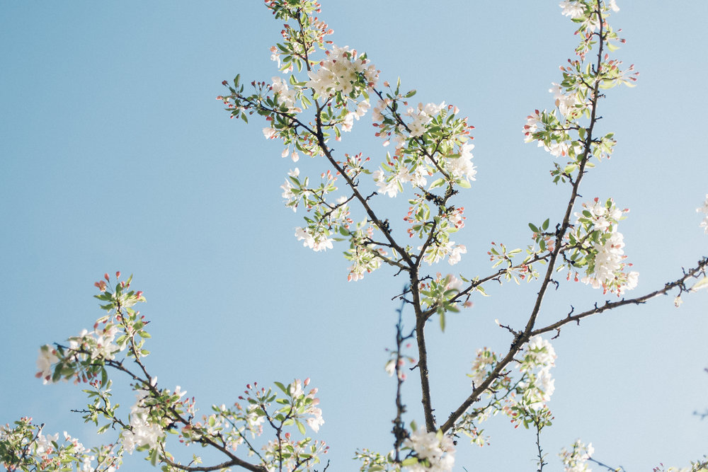 Apple blossom branches -
