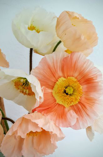 icelandic poppies -