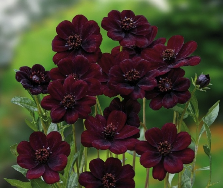 CHOCOLATE COSMOS -