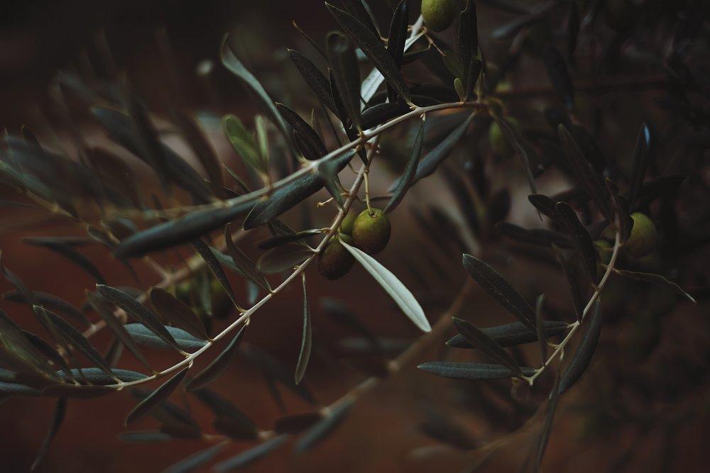 olive branch -
