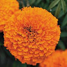 marigolds -