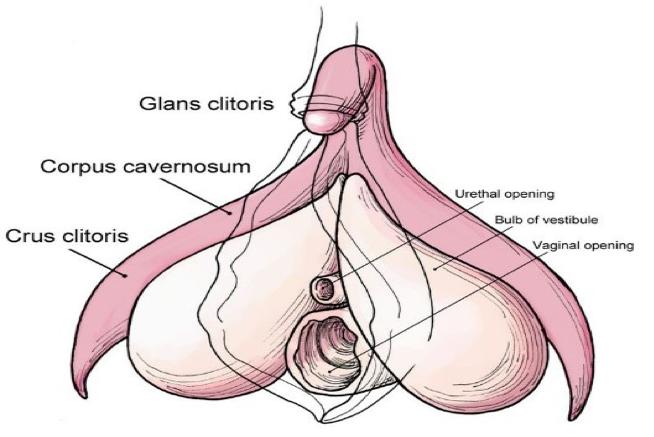 Anatomical drawing of a clitoris.