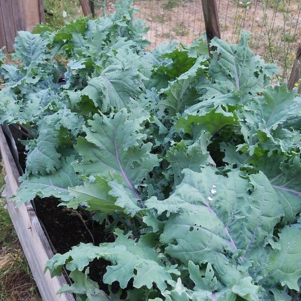 Kale forest.jpg