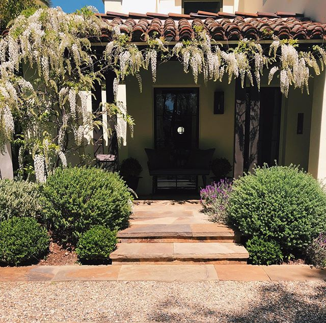 Blooming Wisteria at a clients home in Santa Monica #outdooraesthetics