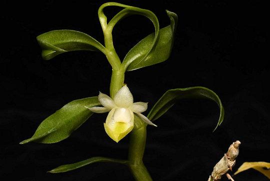 Den oligophyllum