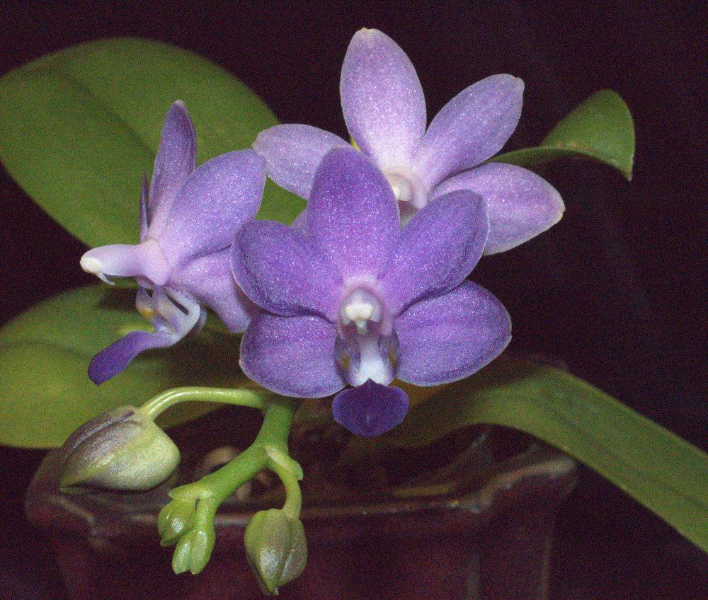 Dpts Purple Martin 'Blue'