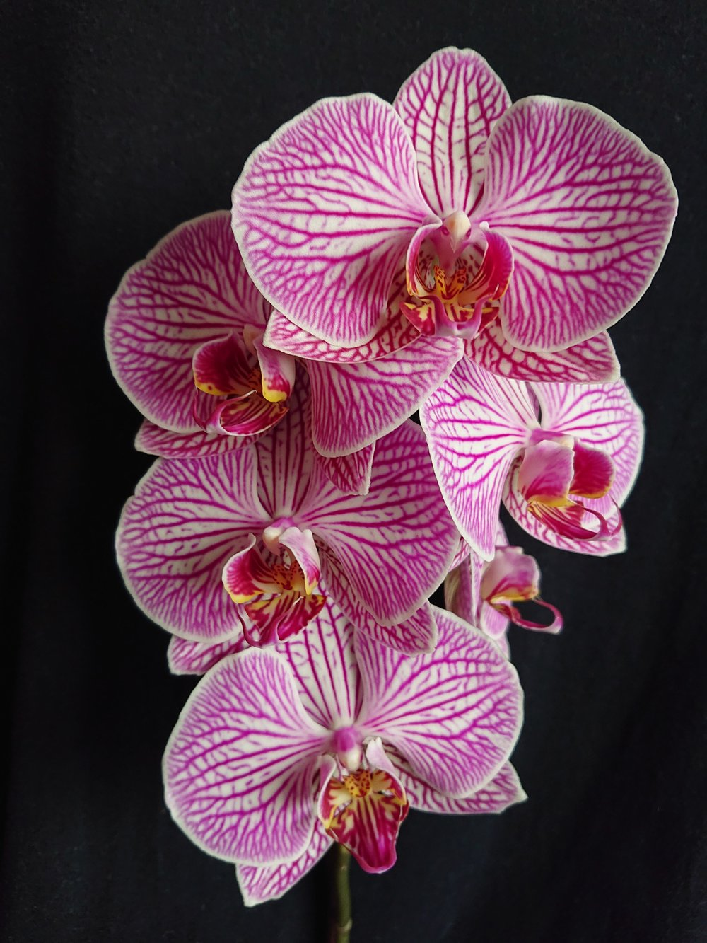 Phal.  Brother Stripes Grown & Photographed by Dr. Stuart Meeson