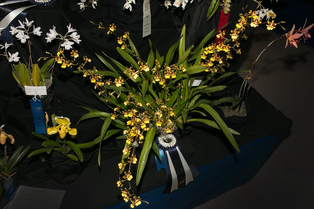 Dora's stunning Oncidium sphacelatum won Best Oncidium