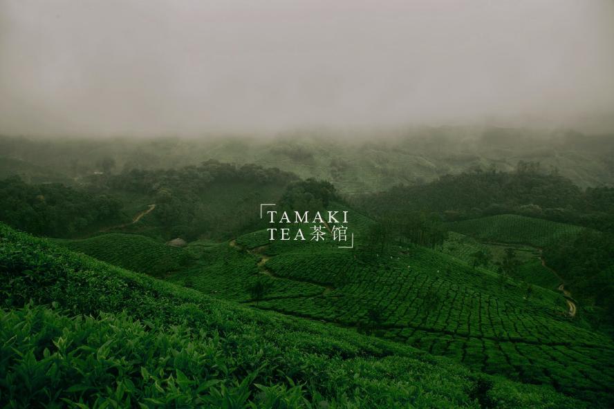 tamaki picture tea field.png