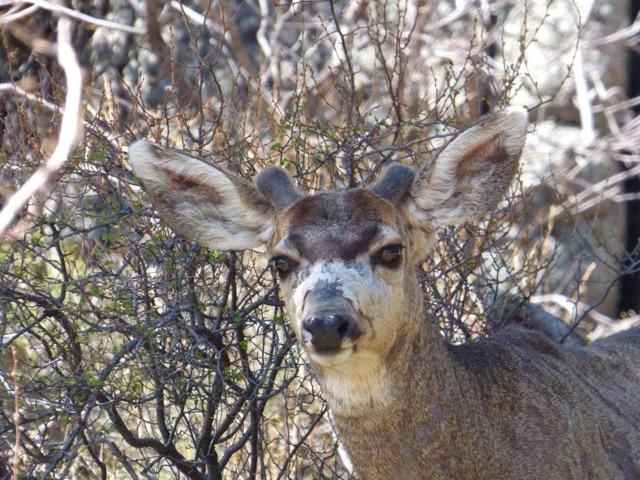 mule deer.jpg