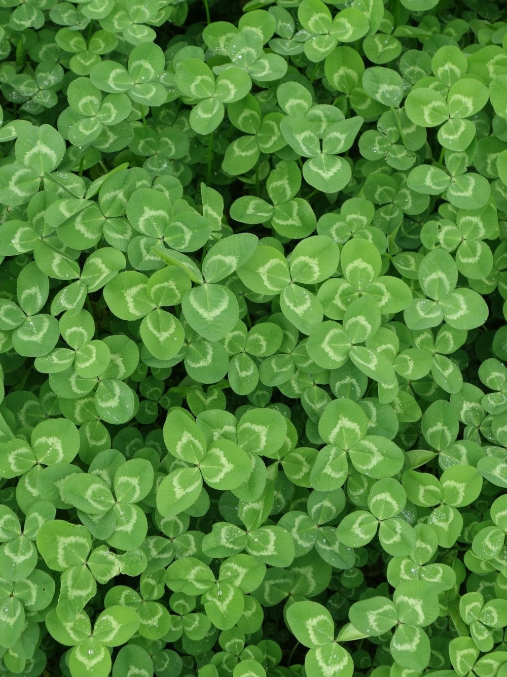 """Shamrock - The word shamrock seamróg comes from the Irish word for clover seamair, and óg """"young"""" or """"little"""". It is often mistaken with the four-leaf clover, a confusion caused by phrases like """"the luck of the Irish"""" and the superstition that the four-leaf clover is the lucky shamrock to anyone who finds it.In the later part of the 18th century the shamrock took on a new nationalistic meaning as an emblem for militias. Cf Theobald Wolfe Tone. Far less politicized now, the shamrock is a registered trademark of the Irish government.Ireland. The shamrock was perhaps made famous by St. Patrick, the Patron Saint of Ireland."""