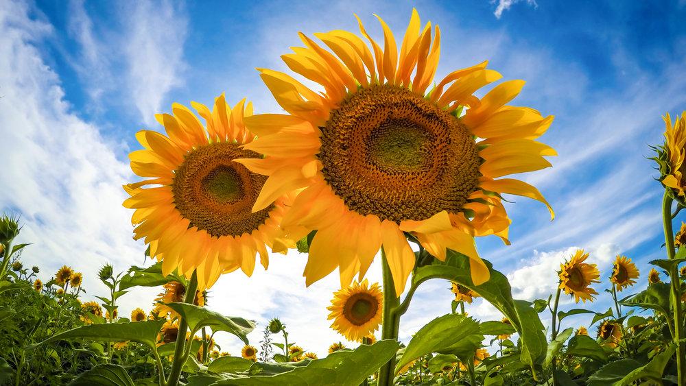 Twin Sunflowers