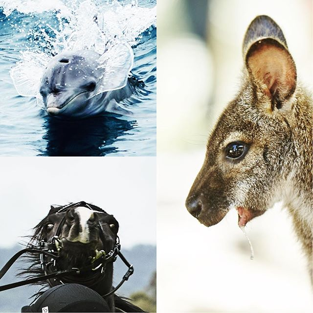 Some outtakes of silly animals to brighten up your Thursday 🐎🐬🦘 . . . . . #tbh #bts #outtakes #throwbackthursday #commercialphotography #perthphotographer #photography #hasselblad #phaseone #perthisok #perth #canon #canonphotography #advertising #justanotherdayinwa #waisok #kangaroo #horses #dolphins #animals #equestrianphotography #cuteanimals #funnyanimals