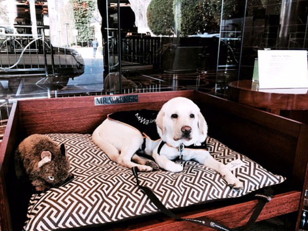 Park Hyatt Melbourne   - Mr Walker, a blonde Labrador, works withthe hotel's concierge team to welcome guests enthusiastically. Arriving guests love to give him pats, ear scratches and belly rubs. As well as being an official ambassador of Guide Dogs of Australia, his primary job is to be of assistance to any guests at the Park Hyatt who are blind or vision-impaired. He even has his own hashtag -  #BarkHyattMelbourne .