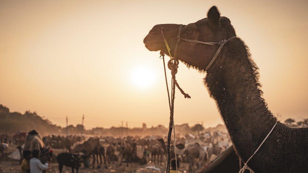 Pushkar Camel Fair - It's like Burning Man, but with camels! Seriously, SO many camels…November 2018
