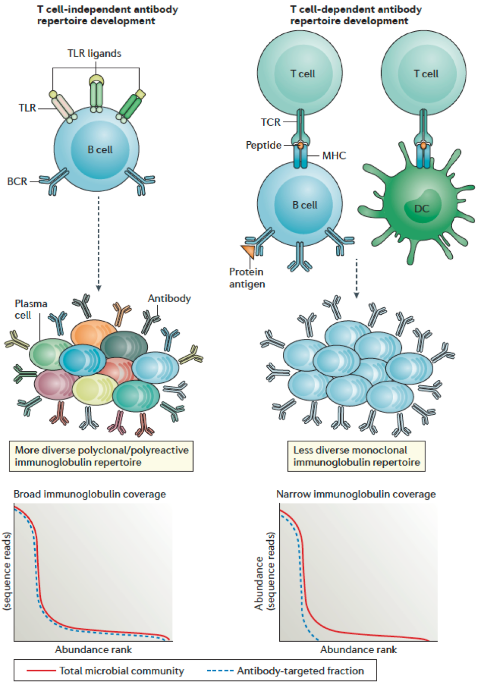The contribution of T-cell-independent and T-cell-dependent anti-commensal IgA responses in the gut is controversial.  B-cell-intrinsic MHCII signaling can be thought of as a critical factor mediating competition among B cell clones for T cell 'help', which is required for survival of developing B cells during germinal center reactions in the gut. Both the quality and quantity of MHCII:peptide complexes on the surface of different B cells can influence their ability to effectively interact with T cells to gain this survival advantage. We are currently utilizing conditional knockout mouse models to explore this phenomenon to determine how it influences IgA antibody diversity and IgA-mediated sculpting of the microbiome.