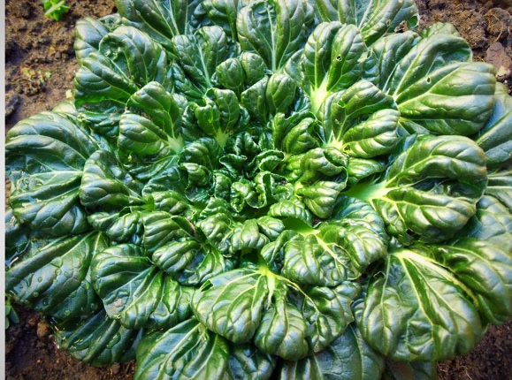 "Tatsoi - sometimes called ""Rosette"" Bok Choi"