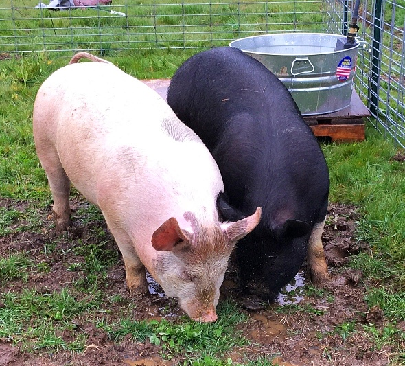 The Newest Farm Residents We have pigs! Meet Porky and Pudding (Yes - they have names). Bacon anyone? Whole and Half pig for sale at the end of May.