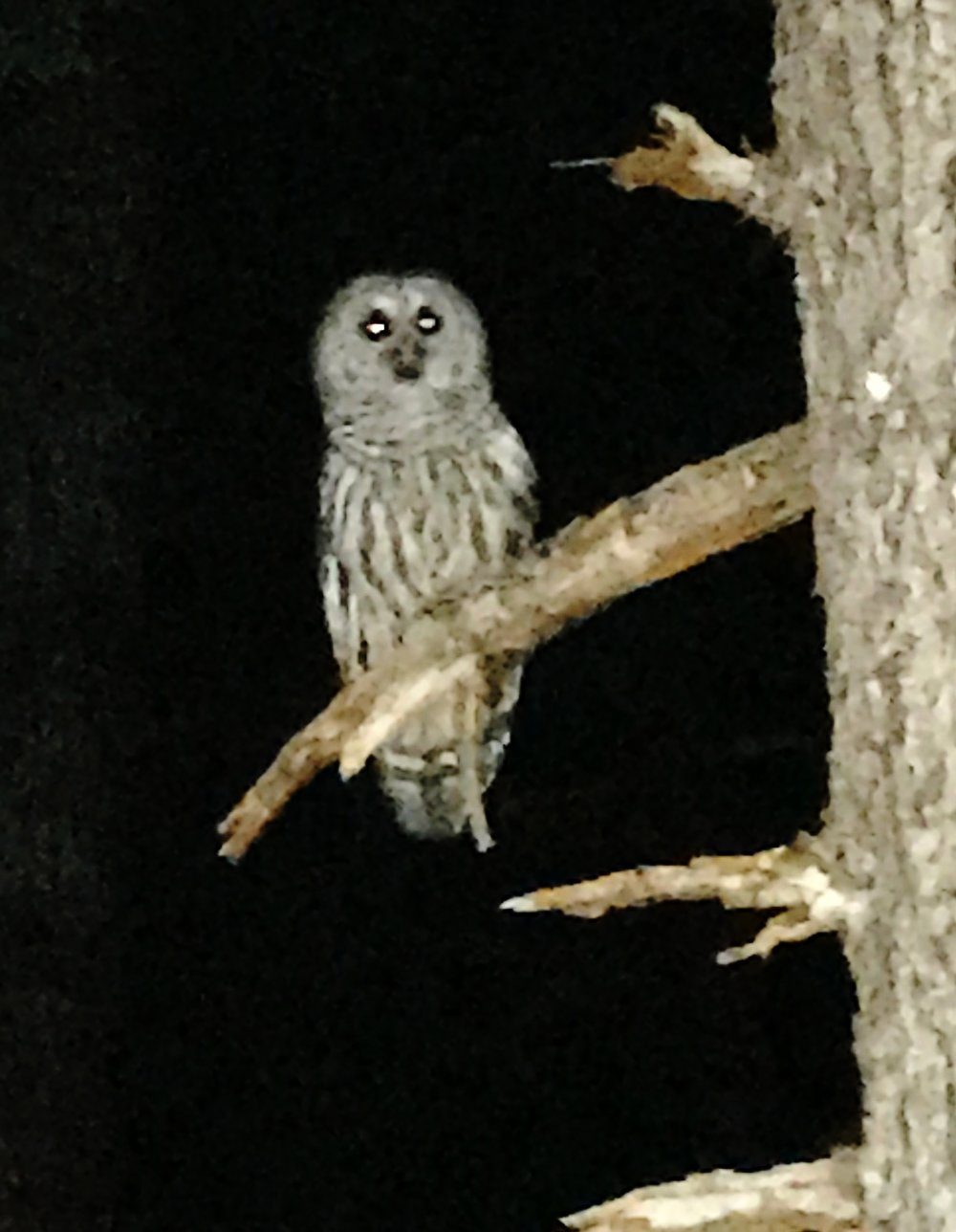 "The boys slept in their hammocks in the woods this week and were woken by this Barred Owl and his call - ""Who cooks for you? Who cooks for you?"""