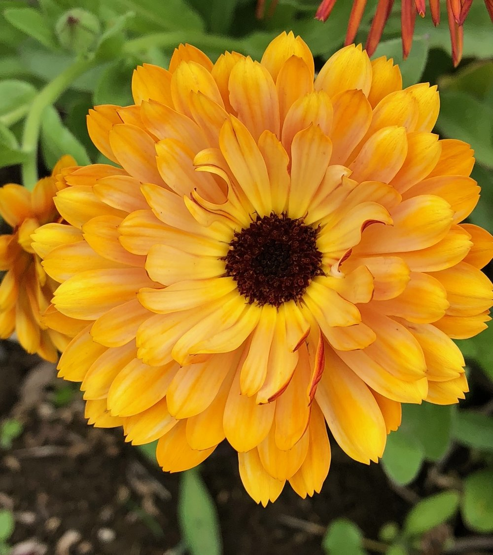 The calendula is blooming in the fields. They are a beautiful bright orange-yellow. A bit of sunshine on a cloudy day.